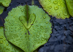 wet love (gnarlydog) Tags: leaves nature green fiji waterdroplets reflection adaptedlens kodakcine50mmf16 rain manualfocus vintagelens waterlilly