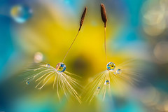 Joyfulness (Macro-photography) Tags: macro tarassaco artistic canon 6d colors water waterdrops droplet closeup nature floralart reflection boken light yellow blue lightblue flores dandelion macrophotography onlyflowers
