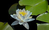 Fragrant Water-lily Pond (12bluros) Tags: fragrant waterlily white flower flora floral pond lily pads water nybg