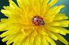 IMG_6690 lady on yellow (pinktigger) Tags: ladybird ladybug coccinella flower yellow nature insect macro tarassaco