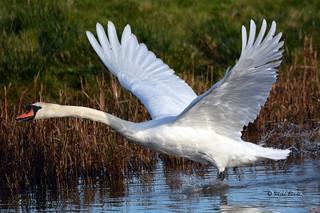Mute Swan