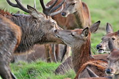 Having a smooch... (Ian A Photography) Tags: animals animalbehaviour britishanimals deer hinds mammals nature naturebynikon nikon reddeer richmondpark rut stag ukdeer ukwildlife wildlife goldwildlife