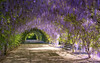 a wisteria moment (Bec .) Tags: bec canon 80d 18135mm adelaidebotanicgardens adelaide southaustralia bench seat tunnel wisteria flora flowers beautiful light wisterialane purple awisteriamoment spring