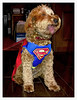 Halloween costume (SteveMather) Tags: dog halloween superman costume apricot