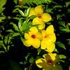 Flowers of Severin / Les fleurs de Severin (dbrothier) Tags: karukera gwada guadeloupe canonef100300mmf4556usm eos6d canon6d yellow 7dwf flowers fleurs flora jaune distillery rhum severin 6d