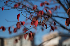 red leaves (Okera) Tags: 100mm 2017 styp007 summicron 散策