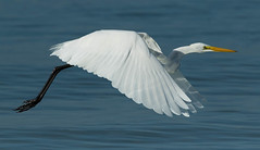 Winging it! (Gary McHale) Tags: great egret sea water fort de soto flight flying wings florida white