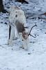 _O1A7970.jpg (skipperwood@btinternet.com) Tags: reindeer lulea sweden scandanavia