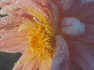 ANOTHER FROZEN DAHLIA _A310218