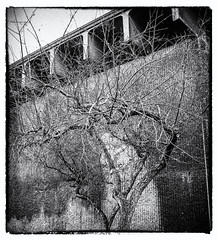 2017 - photo 322 of 365 (old_hippy1948) Tags: tree