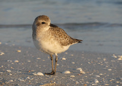 """Black-bellied Plover (Pluvialis squatarola) • <a style=""""font-size:0.8em;"""" href=""""http://www.flickr.com/photos/16155010@N04/38478812162/"""" target=""""_blank"""">View on Flickr</a>"""
