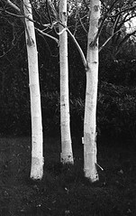 Birch (The Giving tree) (Man with Red Eyes) Tags: birch tree 3 three threeofakind berggerpancro400 bergger pyrocathd 11100 16mins analog analogue blackwhite monochrome silverhalide sunnysixteen lancaster lancashire northwest