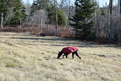 DSC_0050 (justinluv) Tags: achilles doberman dog dobe dobie dobermanpinscher eurodoberman canine