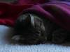 Tonight´s the night (liki, she) (bego vega) Tags: gata cat mascota pet dormir sleep manta blanket liki night noche macro madrid vf bego vega veguita bv