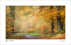 Savernake Autumn (tobchasinglight) Tags: autumn2017 beechtrees englishwoodland landscape marlborough oaktrees savernake savernakeforest uk wiltshire woodland â©paulmitchell