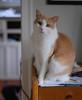 Otis (rootcrop54) Tags: otis dilute orange ginger tabby masked male cat neko macska kedi 猫 kočka kissa γάτα köttur kucing gatto 고양이 kaķis katė katt katze katzen kot кошка mačka gatos maček kitteh chat ネコ