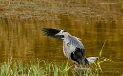 _DSC2013 (AngelPixCn) Tags: angepixcn birds farm feeding green heron jay nikond7100 pond wings yellow cardiff wales unitedkingdom gb
