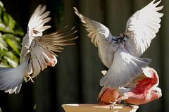 Food Fight (Griffins Photos) Tags: bird pink grey australian fauna flying parrot galah