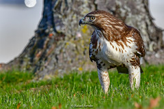 Red Tail Hawk (Rafael Arvelo C.) Tags: eagle philadelphia usa eeuu aguila redtailedhawk redtailhawk