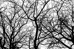 Dead Wood Dance (Fab Photographe) Tags: blackandwhitephotography minimal filmphotography trees abstract kodaktmax400 canoneos500n zeisscameralens zeiss ze planart1450