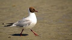 Mouette rieuse - (Chroicocephalus ridibundus) Black-headed Gull (Phil du Valois) Tags: mouette plage rieuse chroicocephalus ridibundus blackheaded gull