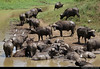 Buffalo herd at a water hole, Hluhluwe-iMfolozi-Park, South Africa