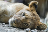 Young lioness, a bit tired (Tambako the Jaguar) Tags: lion big wild cat female lioness cub young lying resting tired portrait face cute rock stone basel zoo zolli switzlerland nikon d5