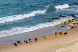"""""""Ireland's Free-range Cows"""""""