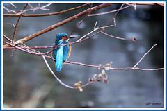 Martin-Pêcheur 171203-02-RP (paul.vetter) Tags: oiseau ornithologie ornithology faune animal bird martinpêcheur alcedoatthis eisvogel kingfisher