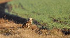 Hibou des marais - Short-Eared Owl (Asio flammeus) (Ziza !) Tags: oiseau bird hibou hiboudesmarais shortearedowl asioflammeus