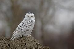 Harfang des neiges / Snowy Owl (alainmaire71) Tags: bird hibou owl strigidae buboscandiacus harfangdesneiges harfang snowyowl nature quebec canada hiver winter wildlife bokeh