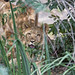 Young lioness in the vegetation