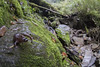 【楚南氏山椒魚】  Hynobius sonani (Sam's Photography Life) Tags: 楚南氏山椒魚 楚南 楚南氏 山椒魚 武嶺 台灣 特有種 保育類 一級保育 百微 微距 tokina 1017 超廣角 aninal 動物