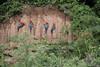 Clay lick (ggallice) Tags: claylick colpa redandgreenmacaw arachloropterus tambopata tambopatanationalreserve reservanacionaldetambopata tambopatariver madrededios peru southamerica wildlife amazon rainforest jungle selva
