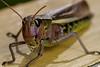 Pretty Face - _TNY_2989 (Calle Söderberg) Tags: macro canon canon5dmkii canoneos5dmarkii flash meike mk300 glassdiffusor insect gräshoppa grasshopper locust largemarshgrasshopper mecostethus grossus portrait face armoured stethophyma grossum caelifera acrididae locustinae pink yellow shiny markgräshoppa canonef100mmf28usmmacro raynox dcr250 f22