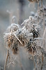 (Laura.Kerr) Tags: winter flower frost cirsium thistle spearthistle cirsiumvulgare