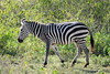 Harsh Nature . (john a d willis) Tags: africa kenya zebra