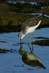 _DSC4535 - Greenshank (steve R J) Tags: greenshank fingeringhoe wick ewt reserve colchester essex wader birds british reflection