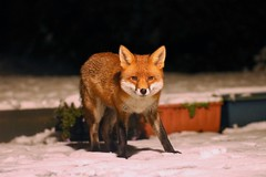Fantastic Mr Fox (stellagrimsdale) Tags: fox redfox urbanfox fur mammal face eyes ears nose lookingatme wildlife wildanimal red orange snow night nighttime nightshoot garden mygarden uk