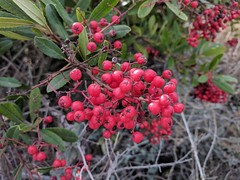 IMG_20171211_121313 (joeginder) Tags: jrglongbeach berries palosverdes oceantrails californa pacific coast