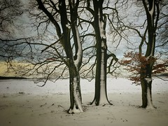 The t(h)ree of us (2timesM) Tags: iphone landdcape snow winter trees tree nature