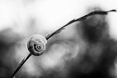 Faranume (Alex Cruceru) Tags: slimy gastropod monochrome blackwhite bw closeup snail slug nature fragility phi bokeh wildlife nikon d3100 dead314xel nikond3100 spiral