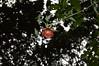 Canarina canariensis (L.) Vatke (GaboHQ) Tags: anaga taganana forest laurelforest hike reservadelabiosfera biospherereserve cloudforest flora bosque bosquedelaurisilva laurisilvahúmeda laurisilvaseca canaryislands tenerife vueltasdetaganana sendero trail autumn canarinacanariensis campanulaceae