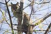 Bobcat (DFChurch) Tags: sixmilecypressslough bobcat feline nature wild wildlife fortmyers florida fl tree