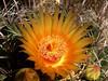 Arizona Barrel Cactus (rstickney37) Tags: cactus barrelcactus ferocactus arizonawildflowers arizonabarrelcactus ferocactuswislizeni