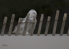 Stroll (slsjourneys) Tags: owl snowyowl beach islandbeachstatepark