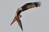 Kite turning (Paul Wrights Reserved) Tags: kite falcon bird birding birds birdphotography birdinflight birdofprey wings looking searching lookingatme lookingatthecamera animal nature action flying fly flight
