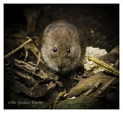 What are you? (timgoodacre) Tags: vole bank rodent water nature