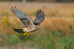 Northern Harrier (knobby6) Tags: northernharrier hawk birdofprey california nikon600mm raptor d850