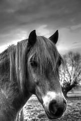 IJslander of IJslandse paard  --monochroom HDR-- (Frank Berbers) Tags: asselt maasplassen asseltseplassen middenlimburg limburg highdynamicrange hdr imagerieàgrandegammedynamique photomatix uiterwaarden überschwemmungsgebiet ijslander ijslandsepaard islandpferd isländer icelandichorse islandais paardpony pferd horse cheval nederland zweetvos lightchestnut lichtfuchs nikond5100